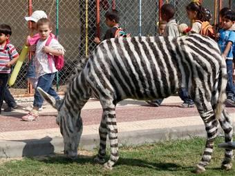 Обычная краска для волос легко превратила ослика в зебру